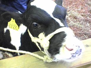 cow_talent